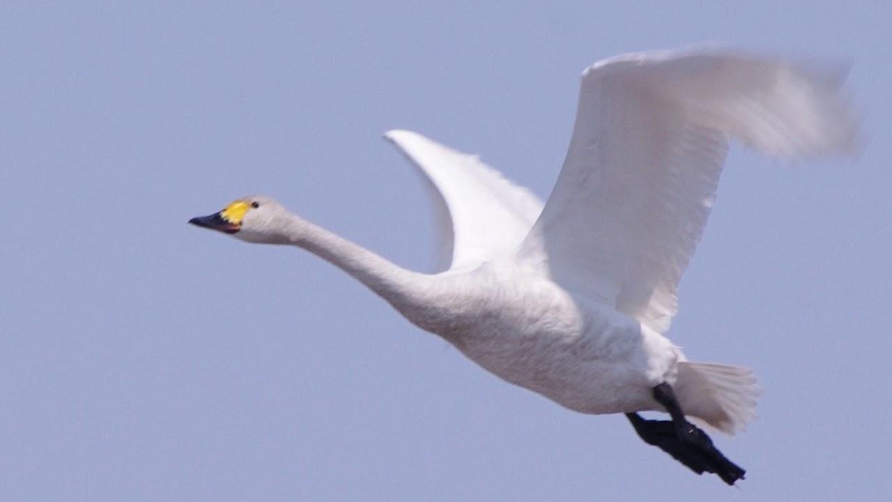 北広島の空を飛ぶ鳥を追って~白鳥編(2018.5)