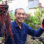 寒冷地の北広島でサツマイモ栽培(2018.11)